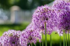 Blurred closeup background of blooming giant onion (Allium Giganteum) Stock Photos
