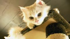 White kitten playing on the scratching tower Stock Footage