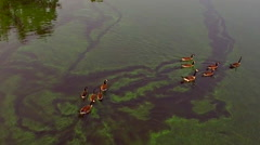 Geese Swimming, Making Trails in Algae Covered Water Stock Footage