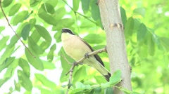 4K Male wild bird search food looking hunter tree branch summer day rest relax  Stock Footage
