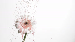 SLO MO MS Reverse motion of pink liquid falling on white gerbera flower against Stock Footage
