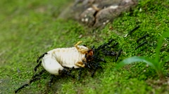 Black ant hunt beetle larva Stock Footage