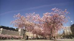 WS People walking around cherry tree at Kungstradgarden / Stockholm, Sweden, Stock Footage