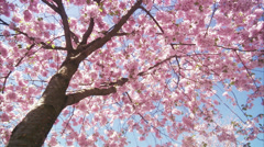 WS DS View of cherry tree during spring at Kungstradgarden / Stockholm, Sweden, - stock footage