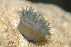 Beadlet Anemone Actinia equina Black Sea Crimea Russia Europe - stock photo