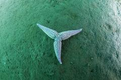 Northern Pacific Seastar or Japanese Common Starfish Asterias amurensis Sea of - stock photo