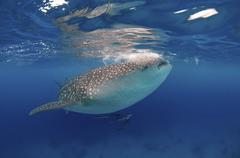 Whale shark Rhincodon typus Boholsee Oslob Cebu Philippines Asia Kuvituskuvat