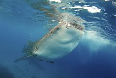 Whale Shark Rhincodon typus Bohol Sea Cebu Philippines Asia Kuvituskuvat