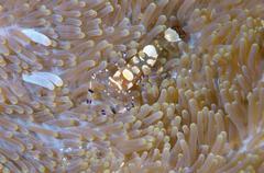 Glass Anemone Shrimp Periclimenes brevicarpalis Bohol Sea Philippines Asia - stock photo