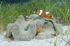 Saddleback Clownfish or Yellowfin Anemonefish Amphiprion polymnus Bohol Sea - stock photo
