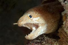 Greyface moray Gymnothorax thrysoideus Bohol Sea Philippines Asia Stock Photos