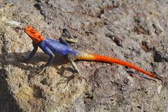 Namib rock agama Agama planiceps male Namibia Africa - stock photo