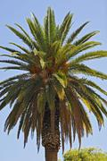 Stock Photo of Date Palm Phoenix Windhoek Namibia Africa