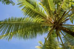 Coconut Palm Cocos nucifera Sulawesi Indonesia Asia - stock photo