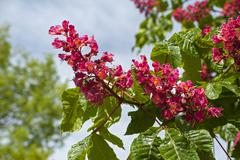 Red horse chestnut Aesculus x carnea Syn Aesculus rubicunda Bavaria Germany - stock photo