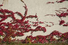 Japanese Creeper Boston Ivy or Woodbine Parthenocissus tricuspidata Bavaria - stock photo