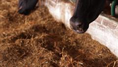 Snout cow chewing hay. - stock footage
