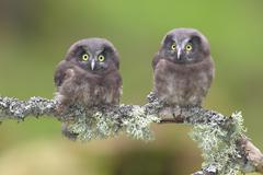 Boreal owls Aegolius funereus two fledglings sitting on a lichen covered - stock photo