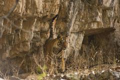 Indian Tiger or Bengal Tiger Panthera tigris tigris scent marking rock to Stock Photos