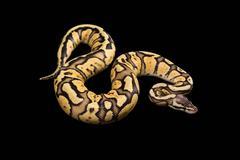 Female Ball Python. Firefly Morph or Mutation Stock Photos