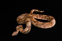 Boa constrictors  isolated on black background Stock Photos