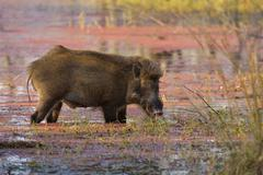 Wild Boar Sus scrofa feeding in the shallow azaleacovered waters of a lake - stock photo