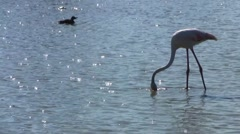 Flamingo Grazing in Marshes, Camargue, France Stock Footage