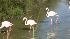 Walking flamingos in Camargue Region of France Stock Footage
