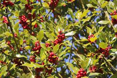 Holly Ilex with red fruits Germany Europe - stock photo
