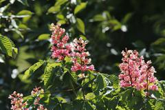 Blossoming Horse Chestnut Aesculus carnea Germany Europe - stock photo