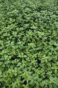 Mint Mentha - stock photo