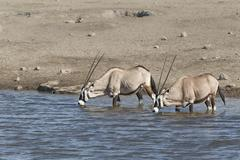 Gemsboks or Gemsbucks Oryx gazella two adult animals drinking at a waterhole - stock photo