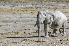 Elephant Loxodonta africana bull in rut Etosha National Park Namibia Africa Stock Photos