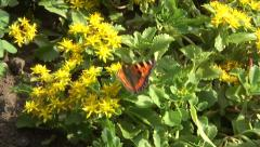 Tortoiseshell butterfly on yellow flower 01 Stock Footage