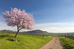 Almond blossom Almond tree Prunus dulcis Southern Palatinate Palatinate Stock Photos