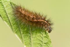Caterpillar of the Muslin Moth Diaphora mendica Tyrol Austria Europe Stock Photos