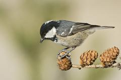 Coal Tit Parus ater Tyrol Austria Europe - stock photo