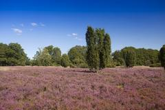 Stock Photo of Countryside with flowering Heather Calluna vulgaris and Juniper Luneburg Heath