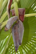 Stock Photo of Banana flower on banana tree Musa Ninh Thuan Vietnam Asia