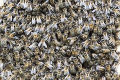 Honey Bees Apis mellifera swarming at entrance of an artificial bee hive - stock photo