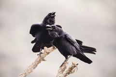 Common Raven Corvus corax adult pair perched on branches calling Extremadura Kuvituskuvat