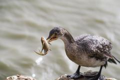 Stock Photo of Longtailed Cormorant Microcarbo africanus with captured small catfish Djoudj