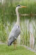 Grey Heron Ardea cinerea standing at the edge of a pond Germany Europe Stock Photos