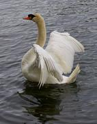 Strong beautiful mute swan shows his wings - stock photo