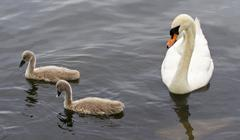 The swan and her young chicks are swimming in the lake - stock photo