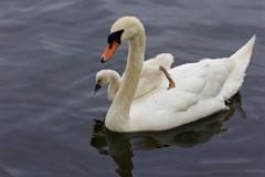 The chick is jumping to the water from the back of her mother-swan Stock Photos