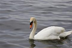 The background with the mute swan swimming in the lake - stock photo