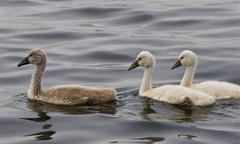 Three young mute swans are swimming somewhere Stock Photos