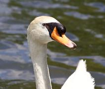 Stock Photo of The close-up of the male mute swan in the lake