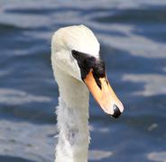 Beautiful portrait of the female mute swan - stock photo